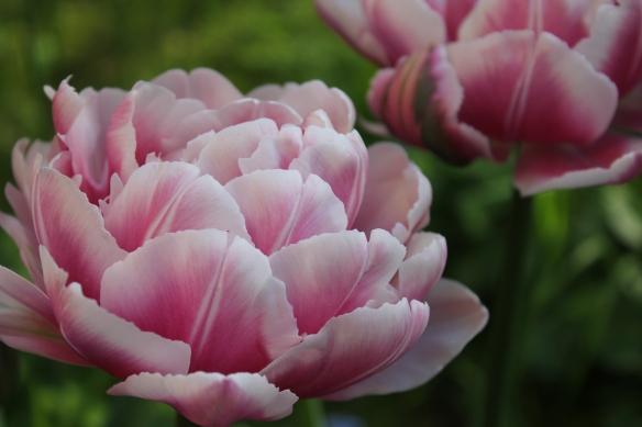 Tulppaaneja Karon puutarhassa